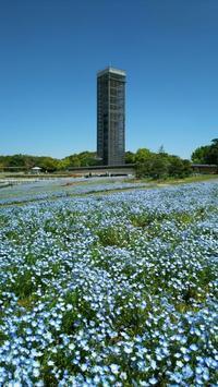 浜名湖ガーデンパークのネモフィラ花畑 - Emily  diary