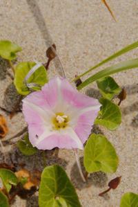 ハマヒルガオも咲き出した。 - Beachcomber's Logbook