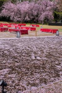 二条城の桜 - 鏡花水月
