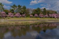 半木の道の桜 - 鏡花水月