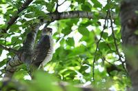 ツミ 04月29日 - 旧サンヨン(Nikon 300mm f/4D)野鳥撮影放浪記