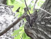 目の前にコゲラが・・黒川清流公園 - 西多摩探鳥散歩