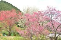 畑に咲いた花桃など。 - 移動探査基地