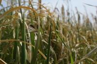 江戸川河川敷にギンイチモンジセセリ舞う(千葉県松戸市、20170429) - Butterfly & Dragonfly