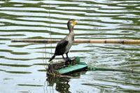 カワウの幼鳥かな? 坂田が池で・・ - ぶらり散歩 ~四季折々フォト日記~
