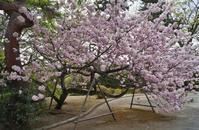 京の名残の桜を求めて(8)京都御苑・宮内庁京都事務所のサトザクラ - たんぶーらんの戯言