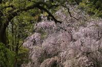 京の名残の桜を求めて(9)京都御苑・近衛邸跡の名残の枝垂れ桜 - たんぶーらんの戯言
