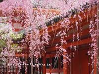 平安神宮の桜 - 京・街・さんぽ