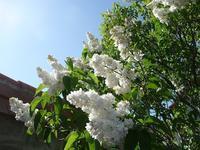 白い花たち - une Belle Chose 日々のつれづれ