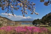 桜満開の精進湖 - 風とこだま