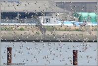 ハマシギのアクロバット飛翔 つづき - 野鳥の素顔 <野鳥と・・・他、日々の出来事>