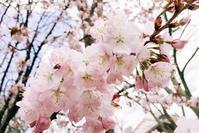 今年も札幌の街に桜が咲いた。開花宣言は、昨日の4月28日である。 - 札幌日和下駄
