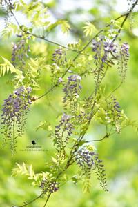 フジの季節 よく聞かれること - お花びより