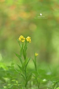 キンラン - お花びより