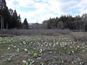 『水芭蕉(ミズバショウ)の群生地を歩いて・・・・・』 - 自然風の自然風だより
