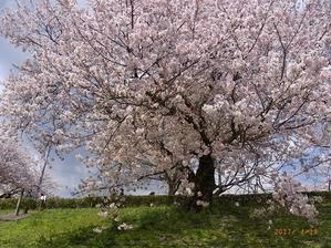 背割り提の桜 - Dayby  day