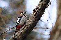 アカゲラ - 野鳥公園