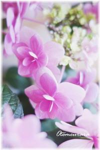 紫陽花 - 日々楽しく ♪mon bonheur