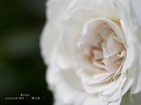 """Rose:日本大通り 緑化フェアーYOKOHAMA - ATELIER 302 """" 時の色 """""""