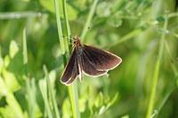 ギンイチモンジセセリ   千葉市の堤防で - 蝶のいる風景blog