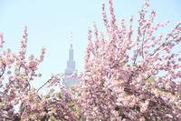 新宿御苑御苑の桜 2017春 - 暮らしを紡ぐ