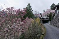 モクレンと桜~ 満開の性瀧寺 - katsuのヘタッピ風景