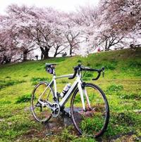 背割の桜 - 苦しみましょう、勝つまでは!
