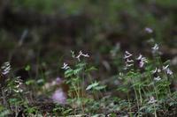 森の道化師たち     ≪   ジロボウエンゴサクと仲間たち・ヤブレガサ   ≫ - そよ風のつぶやき