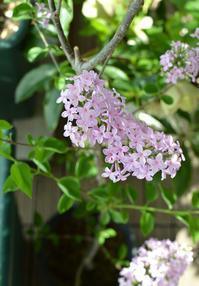 ミニライラック - kukka kukka