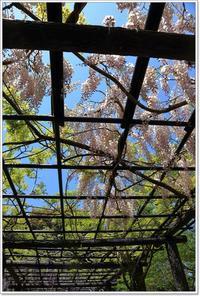 藤の花 いろいろ - ハチミツの海を渡る風の音