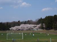 公園の桜 - るーちゃん日々雑感