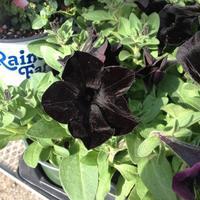 黒い花とコリアンライラック - 幾星霜Ⅱ