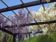 藤棚と木の芽 - 花図鑑