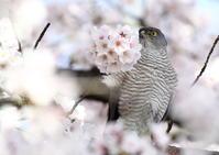 ツミ 桜のボンボン - 気まぐれ野鳥写真