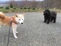 新しいお友だち - 柴犬さくら、北国に生きる