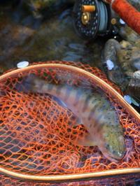 水の色を背中に落としたアマゴ♪ - terry's Photo Lounge <ffb2>