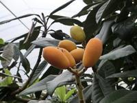 茂木びわ産地勉強会 - 野菜ソムリエコミュニティ長崎