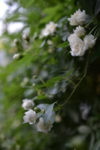 バラの季節のはじまり - refresh-3