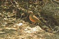 秋ヶ瀬公園のアカハラ Brown-headed thrush - 素人写人 雑草フォト爺のブログ