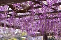 Purple Beauty!**藤の花** - Always Together!