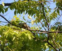 今朝のオナガ、多摩平の森 - 西多摩探鳥散歩