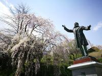 三春町歴史民俗資料館の桜 @福島県三春町 - 963-7837