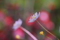 やわらかな風の花 - kzking1963 Digital Photo Diary