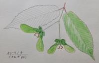 植物スケッチ』  チドリノキ - スケッチ感察ノート