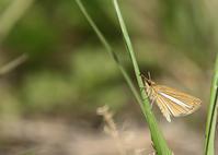 ギンイチモンジセセリとミヤマチャバネセセリ - 公園昆虫記