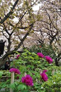 京の名残の桜を求めて(12)桜と牡丹の競演 @西陣・雨宝院 - たんぶーらんの戯言
