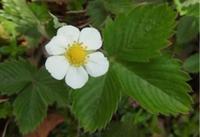 #園芸種『オランダイチゴ』Fragaria x ananassa - 自然感察 *Nature * feeling*