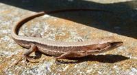 『日向ぼっこ』日本金蛇 Takydromus tachydromoides - 自然感察 *Nature * feeling*