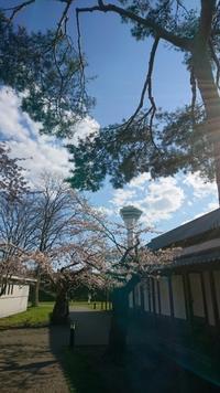 2017年4月30日(日)今朝の函館の天気と積雪、気温は。五稜郭公園は花見客で賑やか - 工房アンシャンテルール就労継続支援B型事業所(旧いか型たい焼き)セラピア函館代表ブログ