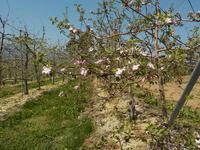 りんごの花を見に - 冬青窯八ヶ岳便り